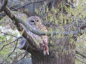 owl7-1.jpg