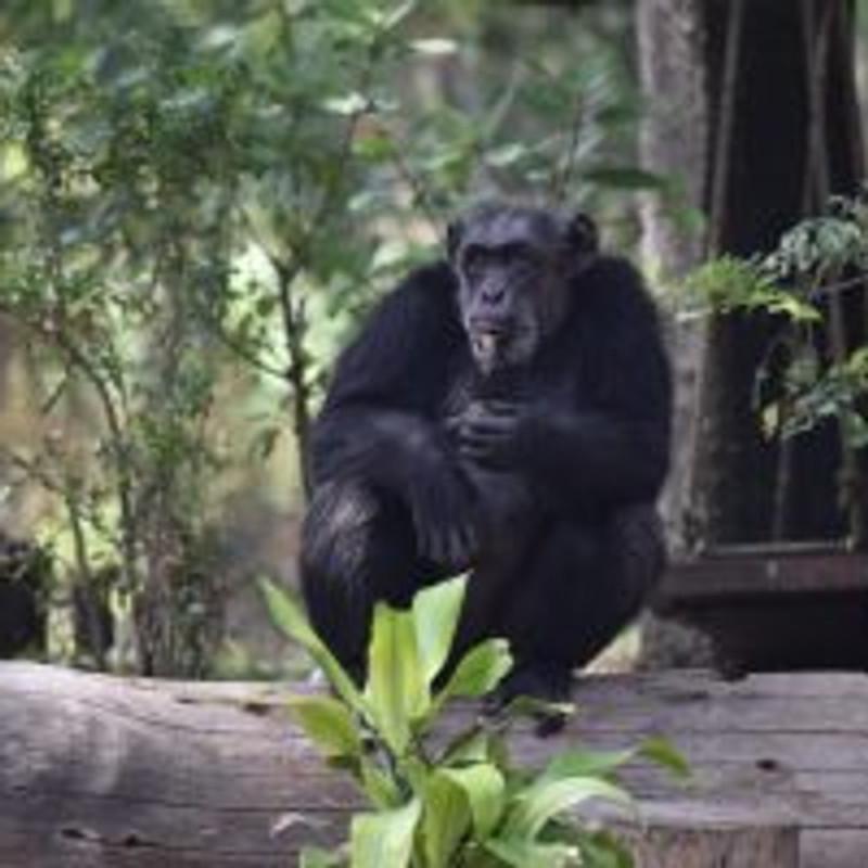 World Chimpanzee Day Quiz By Nehru Zoological Park