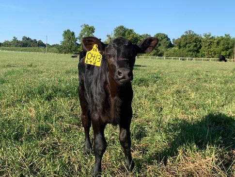 September 2020 Enhance Calf