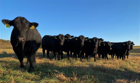 2021 Production Sale Bulls 10-18-20