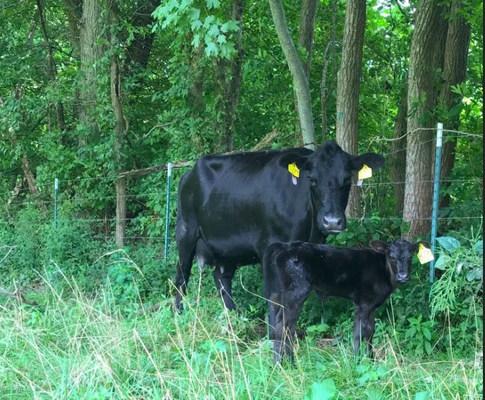 Cow Calf 2018