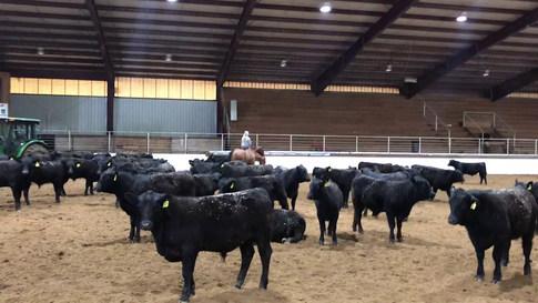 Bulls & Steers 4 Days Weaned