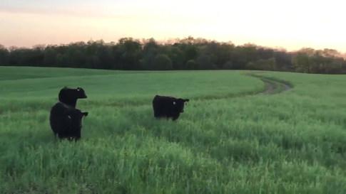 Cows Summer 2018.mp4