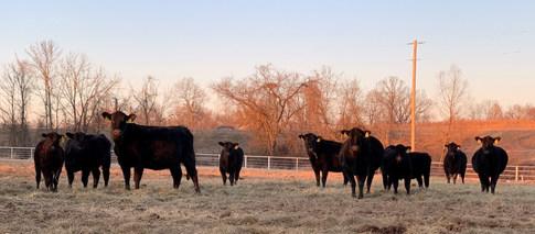 2019 Sale Cows Calf pairs.jpeg