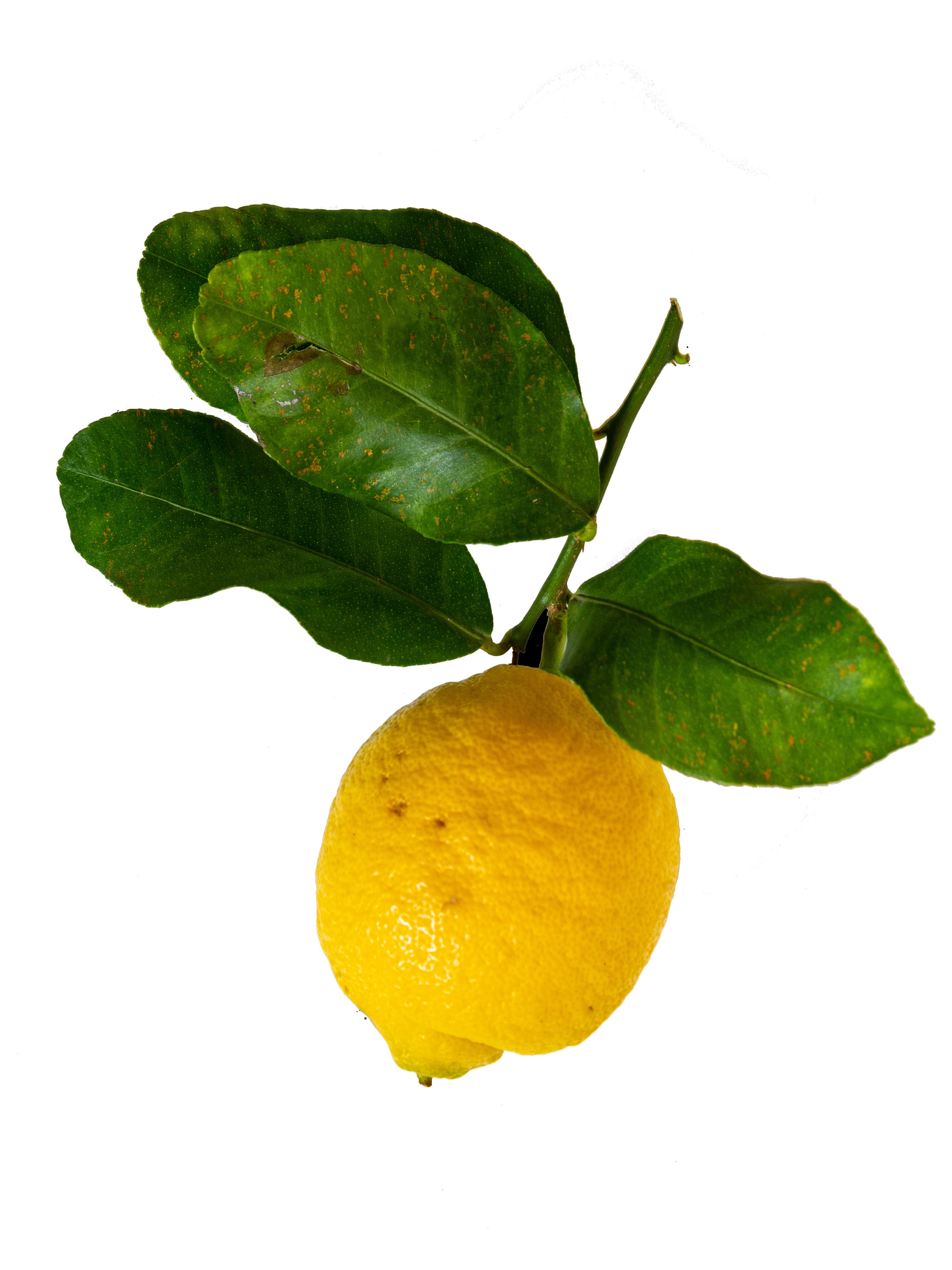 Citron bis HD Blanc.jpg
