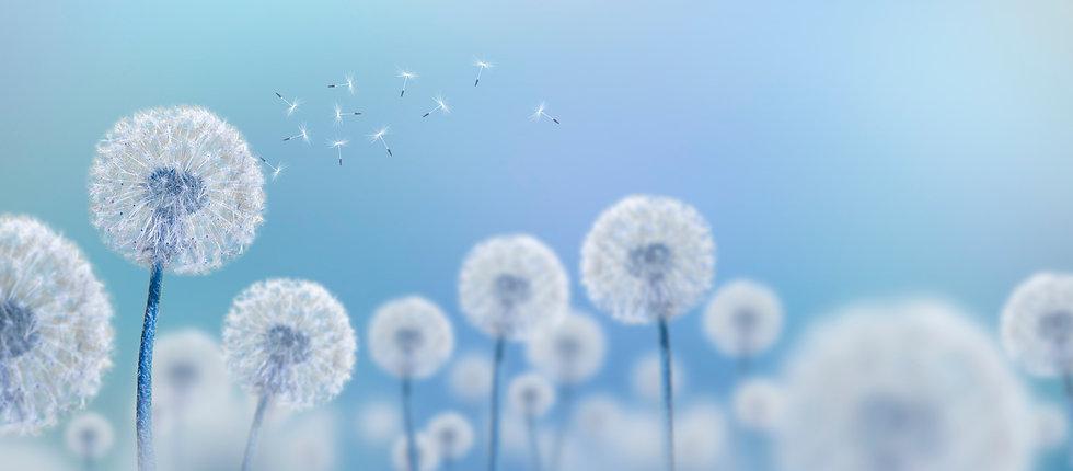 white dandelions on blue background, wid