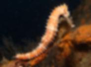 2008 seahorse .jpg