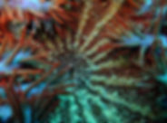 Crown of thorns close up.jpg