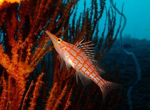 Hawk fish in coral.jpg