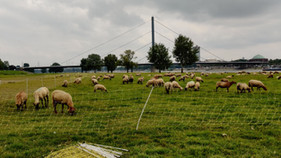Sheep on the Rhein bank