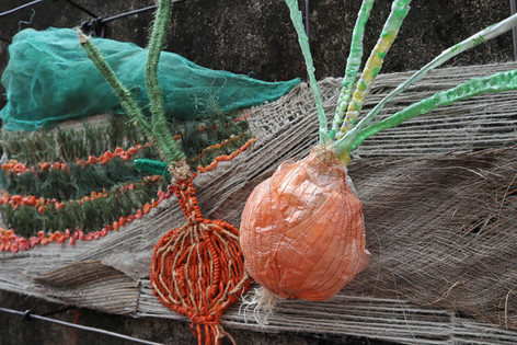 Onion in Pingtung
