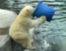 ours blanc qui boit.jpg