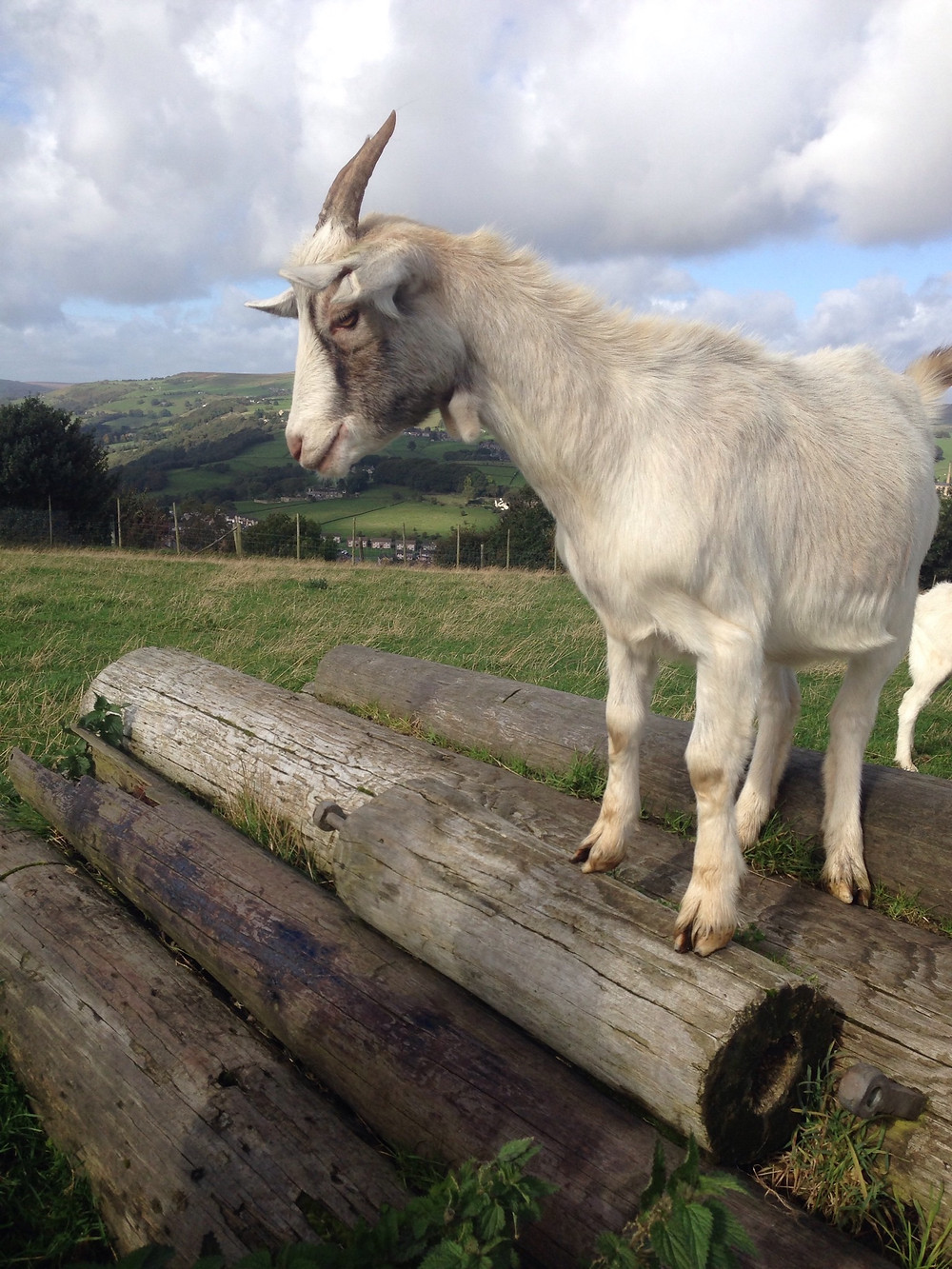 Pigmy goat rescued and safein her new home