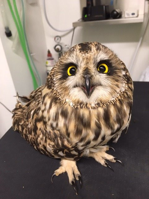 Short-eared Owl at Friendly Vets Halifax