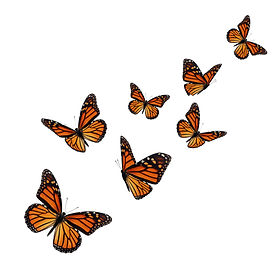 Beautiful monarch butterfly isolated on