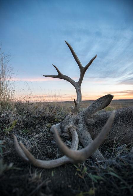 A mule deer lays on its side on a Montana prairie as light fades._edited.jpg