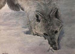 Arctic Wolf - Curious