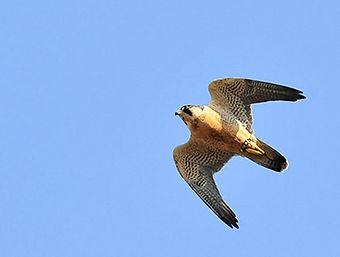 falcon falconry bird control abatement