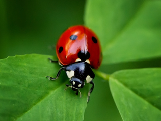Another Ladybug Visit