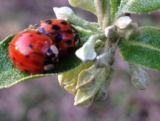Sleeping Ladybugs