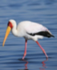 Yellow Billed Stork, Ruaha National Park