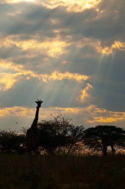 Giraffe & Sunbeams