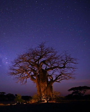 Baobab Ruaha National Park