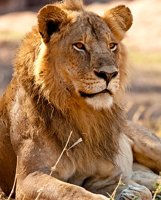 Lion in Ruaha National Park
