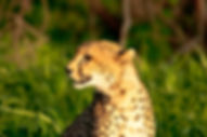 Cheetah in Ruaha National Park