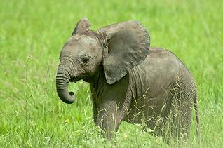 Baby Elephant in Ruaha National Park