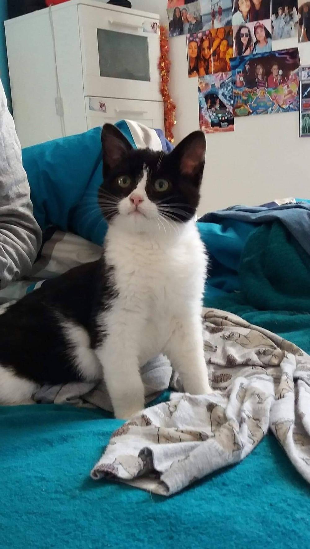 3 mois , chat européen de toute beauté