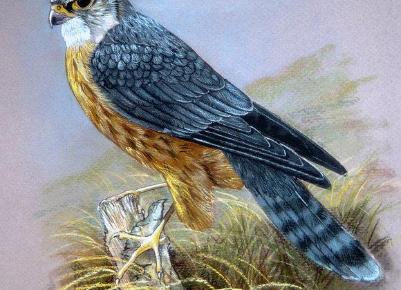 Merlin (cock)