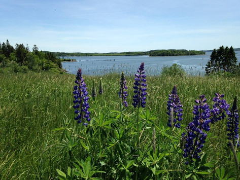 Lupine in the Field