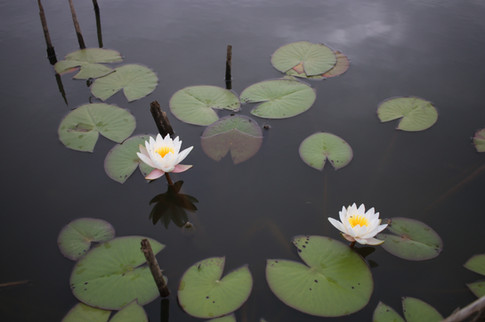 Lilly Pads white