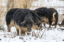 Wollschweine-_MG_6465.jpg