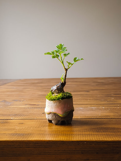 Desert Ash Mame Bonsai in handmade pot
