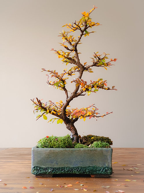 Advanced Chinese Elm, handmade pot #11