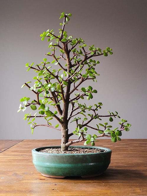 Advanced Dwarf Jade (Money Tree) Bonsai