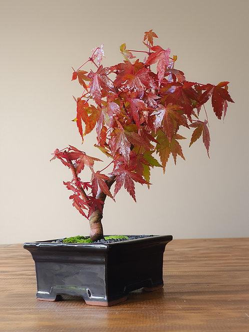 Coral-Bark Japanese Maple