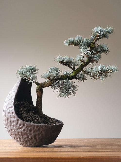 Advanced Atlantic Blue Cedar