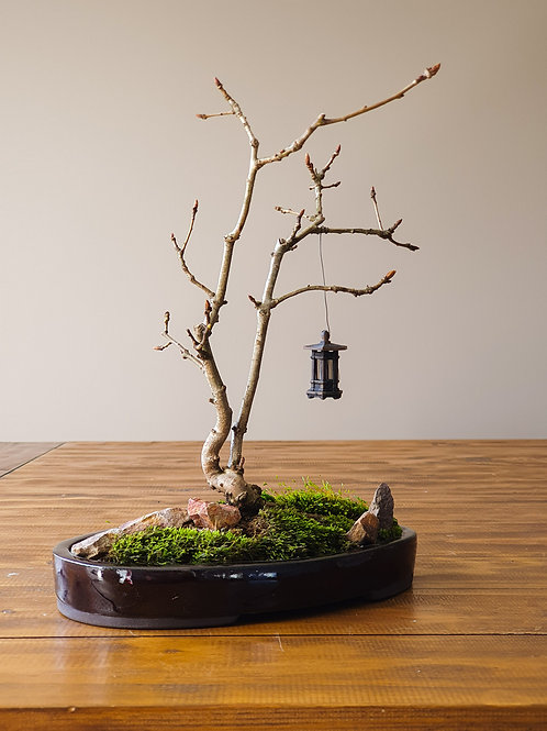 Twin Trunk English Oak Bonsai with Handmade lantern