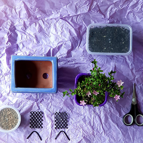 Kids Serissa Bonsai Starter Kit with Lavender Bonsai Pot