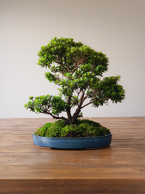 Advanced Saotome Azalea Bonsai with landscape shallow pot
