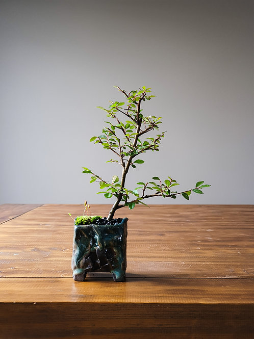 Chinese Elm, handmade pot #5