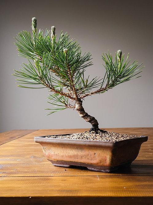 Advanced Japanese Black Pine, handmade pot
