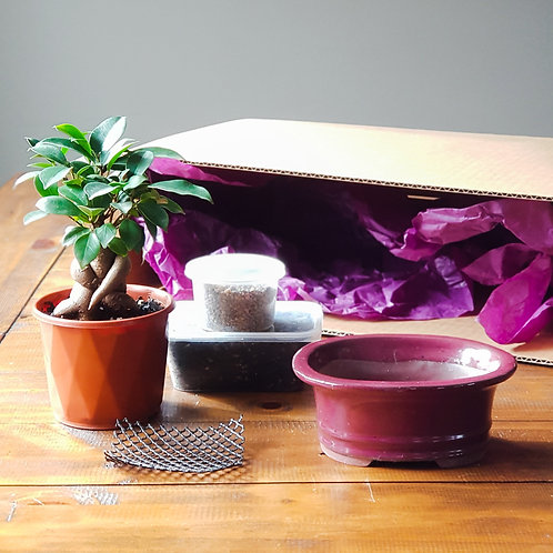 Ficus Bonsai Starter Kit with Cherry Bonsai Pot