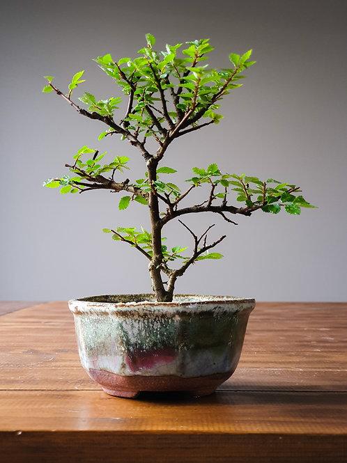 Chinese Elm, handmade pot #3
