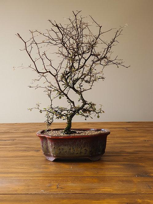 Advanced Corokia Cotoneaster Bonsai #1