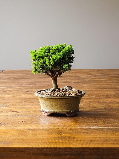 Dwarf Spruce Bonsai #3