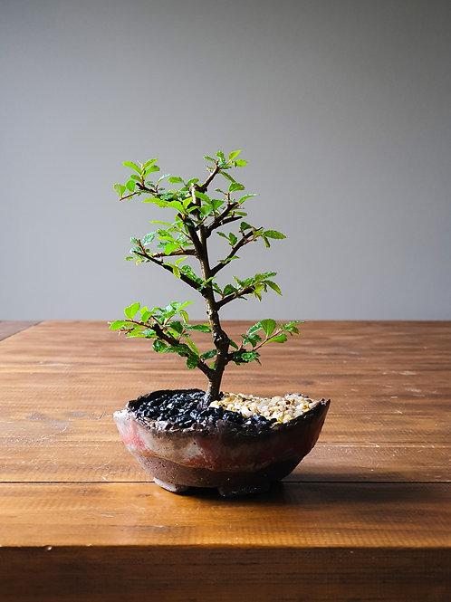Chinese Elm, handmade pot #2